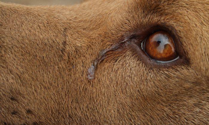 Los Angeles: Dog 'Cries' Every Night While She Awaits Adoption, Shelter Shares Sad Photo As Last Hope